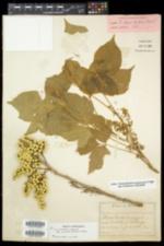 Toxicodendron radicans var. negundo image