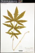 Filipendula rubra image