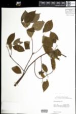 Image of Cornus amomum