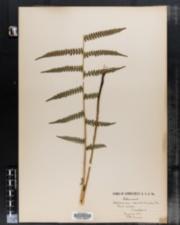 Image of Asplenium acrostichoides
