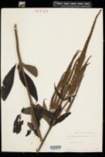 Veronicastrum virginicum image
