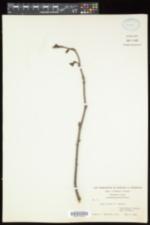 Alnus incana ssp. rugosa image
