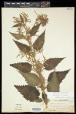 Urtica dioica subsp. dioica image