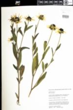Image of Rudbeckia hirta