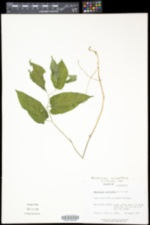 Endodeca serpentaria image
