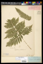 Dryopteris goldieana image