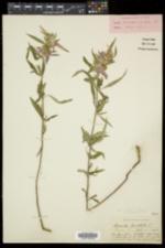 Monarda punctata subsp. punctata image