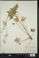Ranunculus acris image