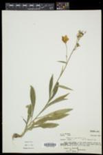 Campanula persicifolia image