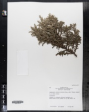 Chamaecyparis pisifera image