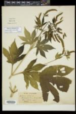 Ambrosia trifida var. trifida image