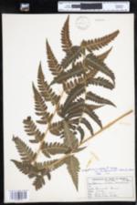 Dryopteris clintoniana image