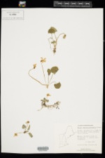 Viola sororia image