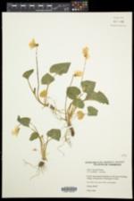 Viola bissellii image