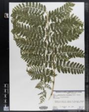 Image of Dennstaedtia bipinnata