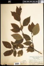Image of Betula alleghaniensis