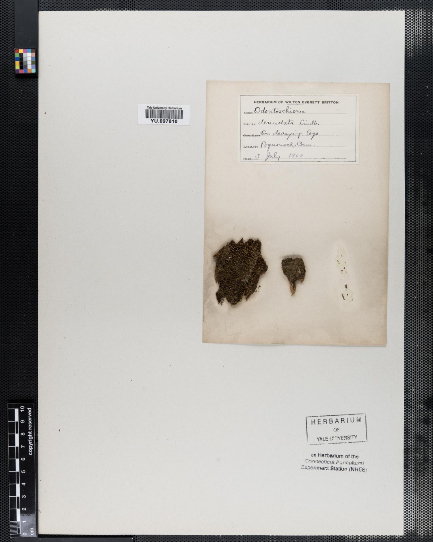 Cephaloziaceae image