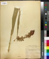 Sorghum bicolor subsp. bicolor image