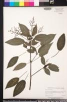 Image of Pilea grandifolia
