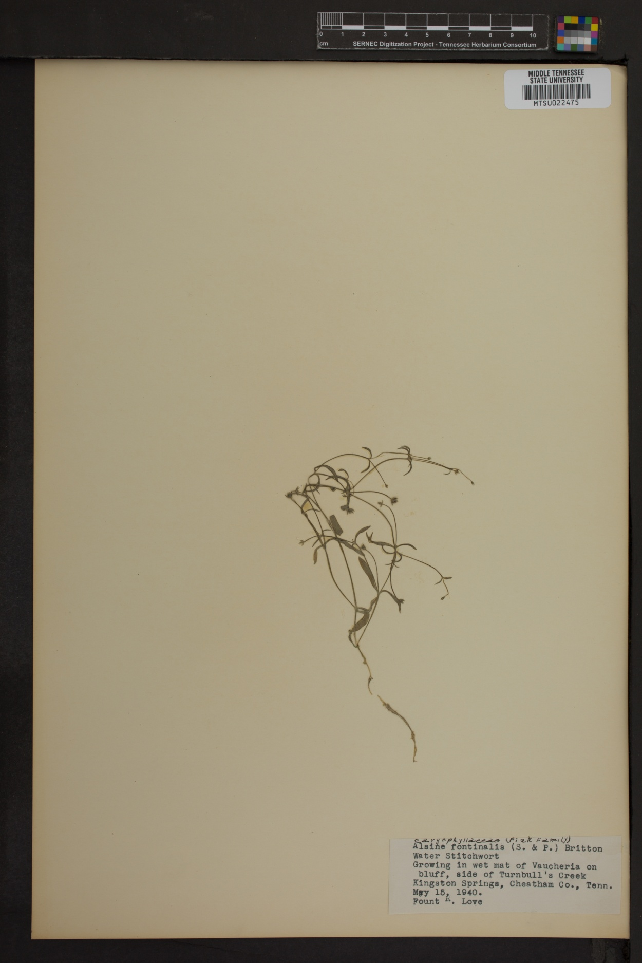 Alsine fontinalis image