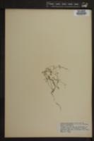 Image of Alsine fontinalis