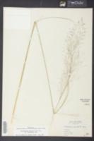 Muhlenbergia expansa image
