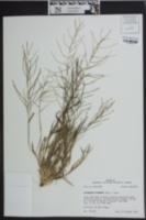 Leptochloa panicea subsp. mucronata image