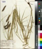 Pennisetum ciliare image