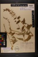 Image of Lobelia amoena