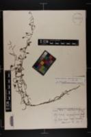 Stylisma patens subsp. angustifolia image