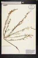 Image of Dicerandra fumella