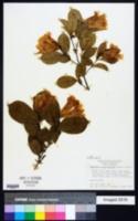 Clytostoma callistegioides image