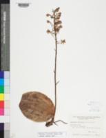 Platanthera orbiculata image