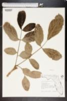 Image of Kigelia pinnata