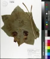 Dysosma pleiantha image