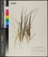 Eleocharis olivacea image