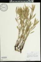 Image of Stellaria sylvatica