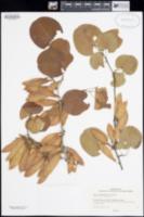 Cercis occidentalis image