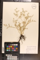 Eryngium vaseyi image