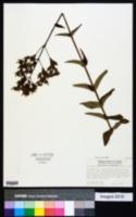 Image of Hypericum lanuginosum