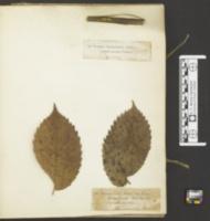 Sclerophomella verbascicola image