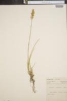 Narthecium americanum image