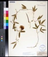 Image of Centrosema arenicola