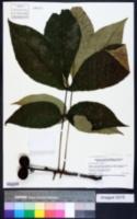 Carya ovata image