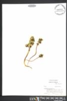 Obolaria virginica image
