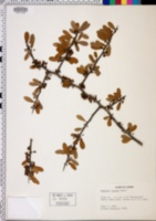 Bumelia lacuum image