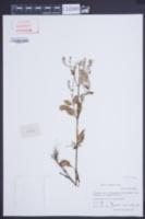 Salvia plebeia image