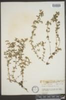 Image of Galium californicum
