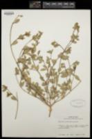 Chamaesyce carunculata image