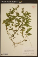 Stachys floridana image